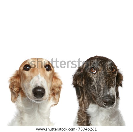 Russian Borzoi puppies (5 months). Portrait with copy space on a white background - stock photo