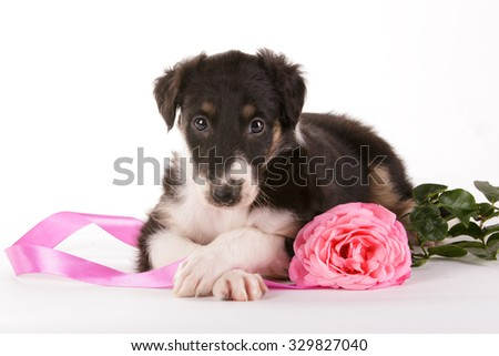 Russian Borzoi slight-hound little black puppy lying with pink rose flower and ribbon on white isolated background
