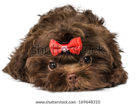 Russian color lap dog puppy - stock photo