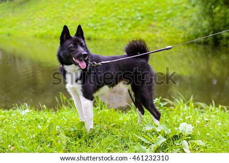Russian - European Laika dog for hunting wild fowl and animals. Husky dog standing on meadow. Exhibition Stand dogs. Beautiful dog on a walk.