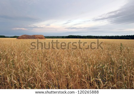 Russian field before harvesting wheat