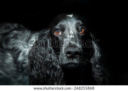 Russian hunting spaniel on a dark background