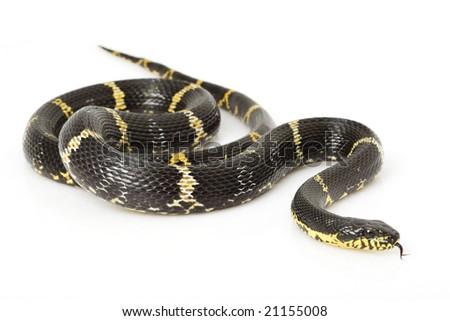 Russian Rat Snake (Elaphe schrenkii) on white background. - stock photo