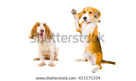 Russian Spaniel and Beagle together isolated on white background
