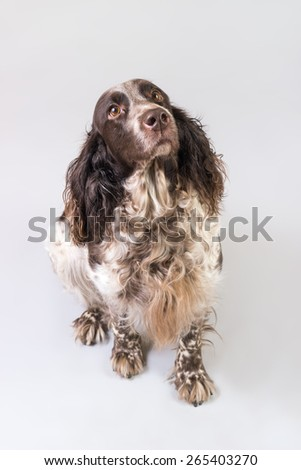 Russian Spaniel dog breed is sitting on the floor - stock photo