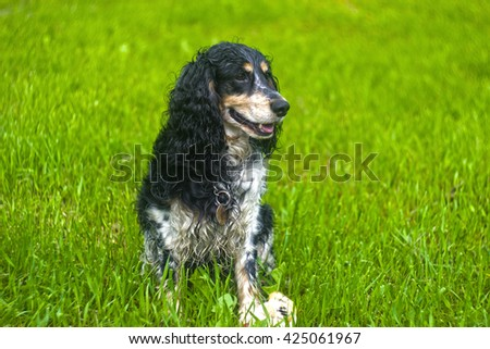 Russian Spaniel play in the grass