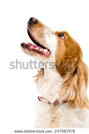 Russian spaniel portrait close-up looking up isolated on white background