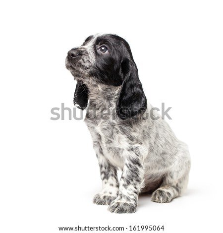 Russian spaniel puppy isolated on white background - stock photo