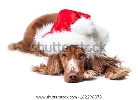 Russian Spaniel waiting for Christmas. Isolated on a white background