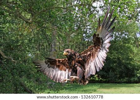 Russian Steppe Eagle - stock photo