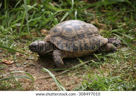 Russian tortoise (Agrionemys horsfieldii), also known as the Central Asian tortoise. Wild life animal.  - stock photo
