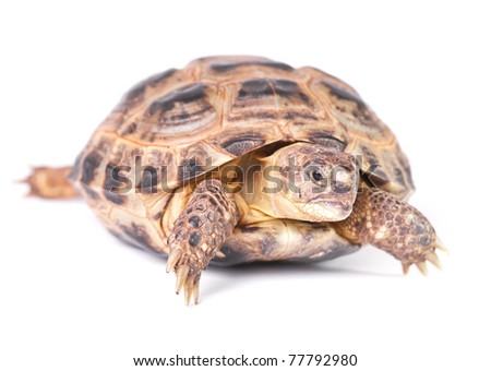 Russian tortoise - Central Asian tortoise.