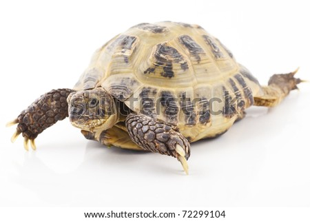 Russian tortoise on a shite background, Focus is shallow
