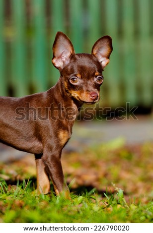 russian toy puppy outdoors - stock photo