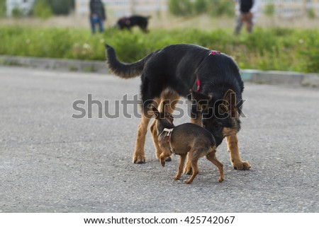 Russian toy terrier and a puppy Alsatian dog for a walk in the city, the evening light