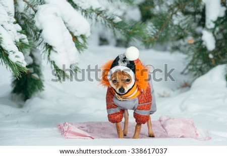 Russian toy terrier in a city park in the winter. For the first time in a jumpsuit . He is standing and looking at you. Pale orange color, a boy 5 months.