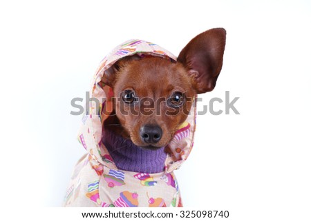Russian toy-terrier in clothing and hoods