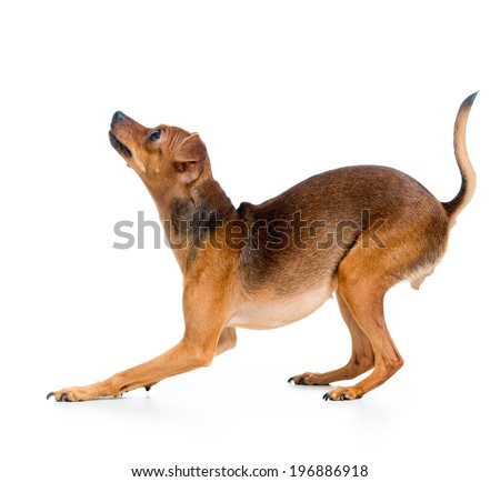 Russian toy terrier, isolated on a white - stock photo