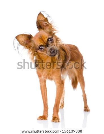 Russian toy terrier looking curiously at the camera. isolated on white background - stock photo