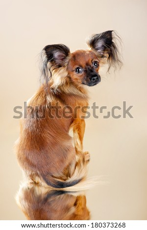 Russian toy terrier on a light brown background