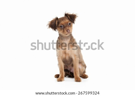 Russian toy terrier puppy on white background