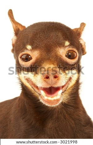 Russian toy-terrier.Thoroughbred dog...Ridiculous dog - stock photo