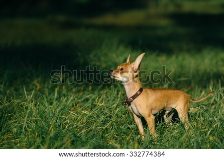 Russian Toy Terrier walk in the park for a walk in the late summer . pale orange color , a boy 5 months. name is Bambi.