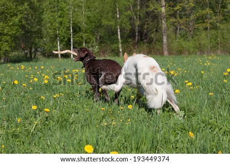 Russian wolfhound and German shorthaired pointer Kurzhaar having fun outdoors