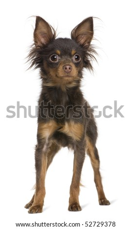 Russkiy toy dog, 1 year old, standing in front of white background