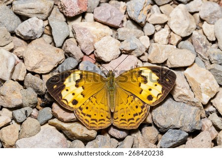 Rustic butterfly (cupha erymanthis) resting on floor - stock photo