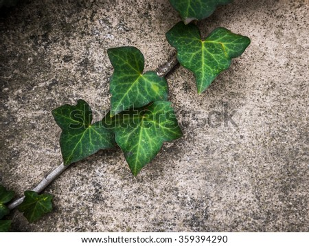 Rustic Image Of Green Ivy Against A Wall For Your Text - stock photo