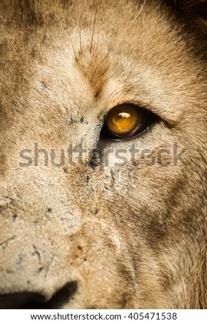Rustic right side of a lion face - stock photo