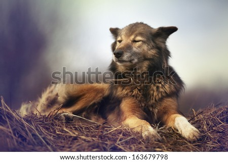 rustic style, a dog asleep on the hay - stock photo