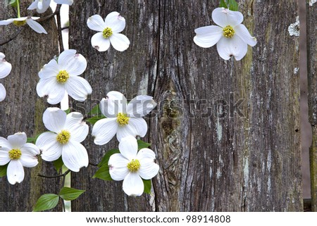 Rustic wooden fence with beautiful white Dogwood blooms - stock photo