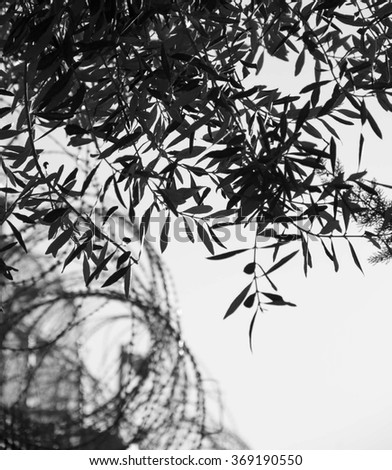 Rusty barbed wire and olive tree. War and imprisonment against peace concept. Selective focus on the leaves. Aged photo. Black and white. - stock photo