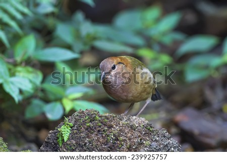 Rusty-naped Pitta at northern Thailand