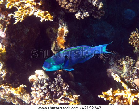 Rusty parrotfish and coral reef - stock photo