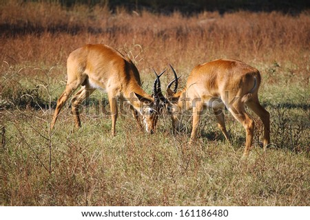 Rutting puku in South Luangwa National Park - stock photo