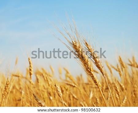 Rye ears in the field - stock photo