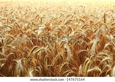 rye field - stock photo
