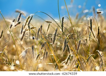 Rye field at sunrise. - stock photo