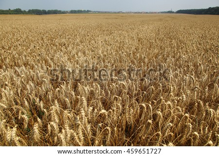 Rye field. Cultivated plant rye with beautiful gold spikelets. Ears of barley in field - Stock Photo