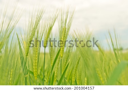Rye Field in rural Germany