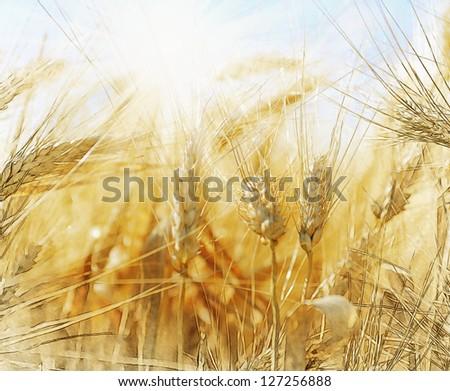 Rye field on a beautiful sunny sky background - stock photo
