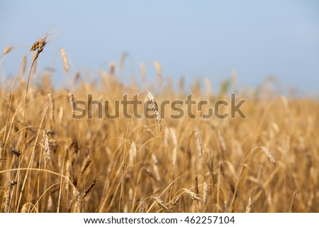Rye ripens in the summer in the field against the blue summer sky background grain