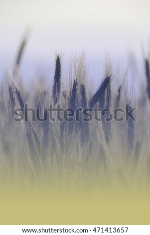 Rye, soft focus with vintage effect picture style, texture for background