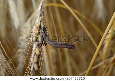 rye with ergot (fungus) - stock photo