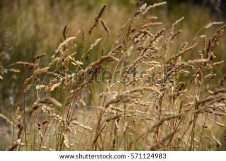 Ryegrass stock images royalty free images vectors for Brown ornamental grass plants