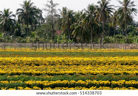 SA DEC, DONG THAP, VIETNAM, November 11, 2016, field of flowers countryside Sa Dec, Dong Thap Province, Vietnam, at the end of the year