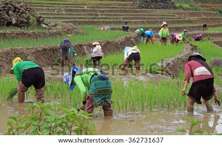 SA PA, VIETNAM - JUNE 6, 2015: people are harvesting the paddy field in village CatCat, Vietnam